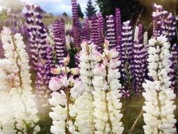 Flowering lupines and alps  Lake Tekapo and Wellington before leaving New Zealand